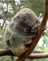 Koala by BreeSpawn