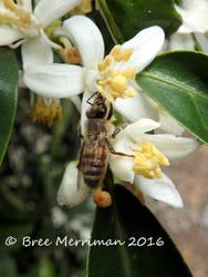 European Honey Bee III by BreeSpawn