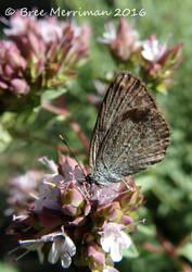 Butterfly LYCAENIDAE??? by BreeSpawn