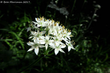Onion Weed Flowers by BreeSpawn