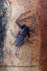 Flat Spider by BreeSpawn