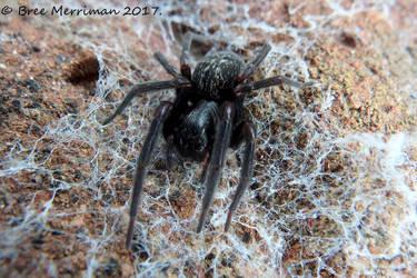 Black House Spider by BreeSpawn