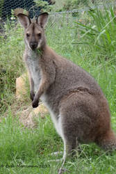 Rednecked Wallaby by BreeSpawn