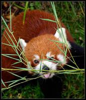 Red Panda by ToytownMafia