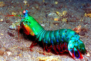 mantis shrimp 2 by yaq1xsw2