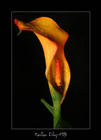 Calla Lily 2 by c3d