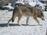 Wolf center male by Shines-Bright-Eyes