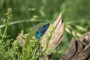 european green lizard by blackasmodeus