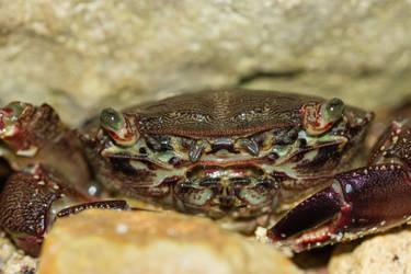crab by blackasmodeus