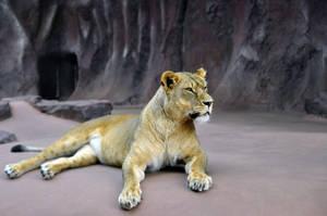 lioness by duckstance