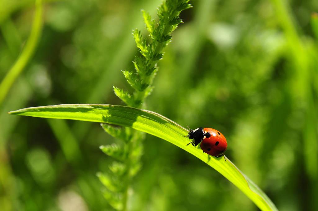 ladybug by duckstance
