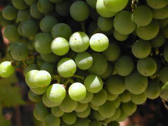 Sauvignon Blanc by sugarnspike613