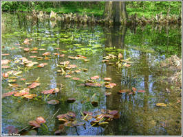 The water lillies to be by Iuliaq