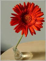 Natura moarta cu gerbera rosie by Iuliaq