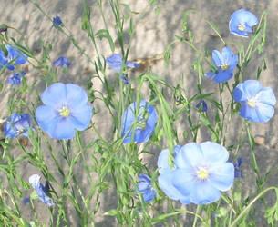Neighbor's Little Blue Flowers by ZIM402