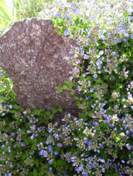 Neighbor's Itty Bitty Blue Flowers by ZIM402