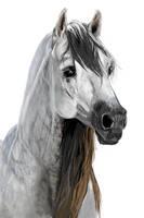 Arabian horse by Lenishek
