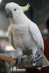 Cockatoo-Basil Full body 1 STOCK by scratzilla
