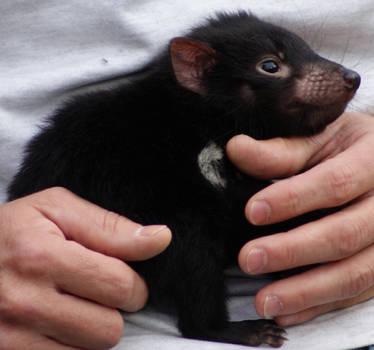 Tasmanian Devil.. Baby STOCK by scratzilla