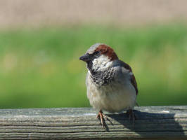 House Sparrow by AppleBlossomGirl