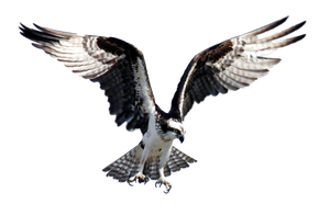 Hawk Fisher PNG by LG-Design