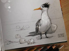 # 62 - Lesser crested tern - by Loisa