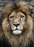 LION'S CREST by behindcrimetape