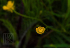 Yellow Flower . . . ? by kaioian
