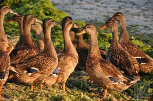 Ducks Party . . . ? by kaioian