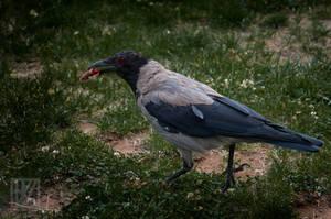 Hungry Crow . . . ? by kaioian