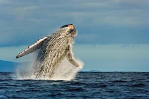 Humpback Whale Breaching by naturephoto5