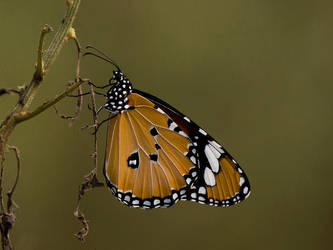 Basking Butterfly - II by InayatShah