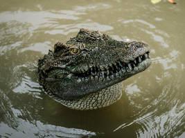 Croc-O-Licious - II by InayatShah