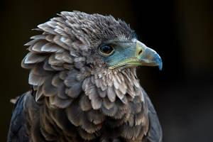 Fluffy Falcon by InayatShah