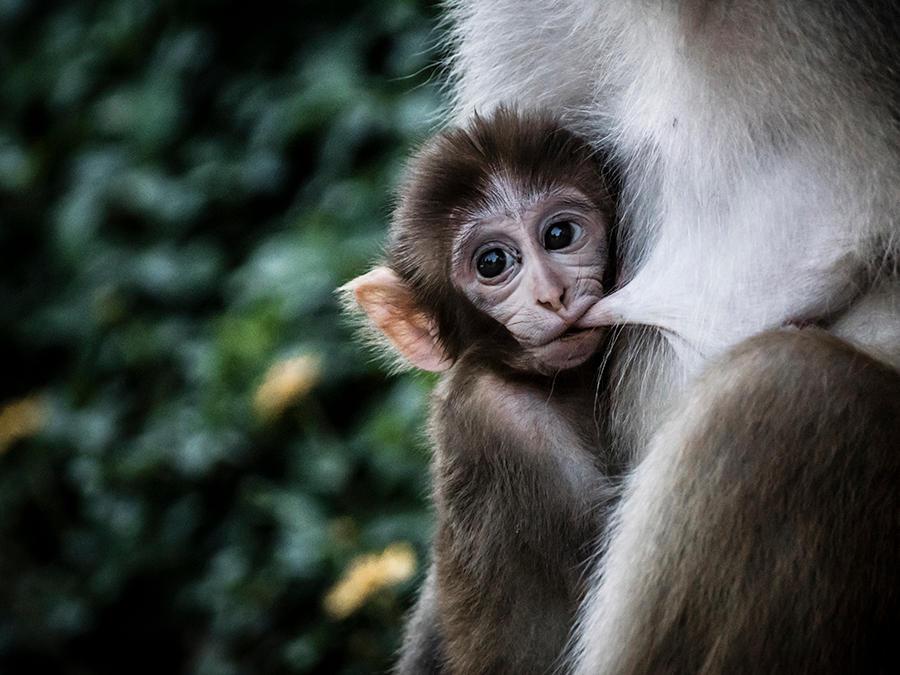 Wild Monkey - II by InayatShah