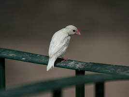 Lonely Looking Finch by InayatShah