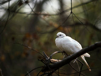 Fluffed White Dove by InayatShah
