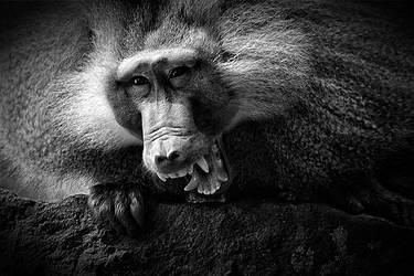 Hamadryas baboon by ReneWarich