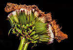 Deformed Dandelion by AimeeDouglass