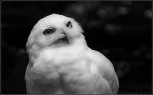 Snowy Owl monochrome by oOBrieOo