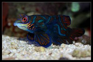 Mandarin Goby by oOBrieOo