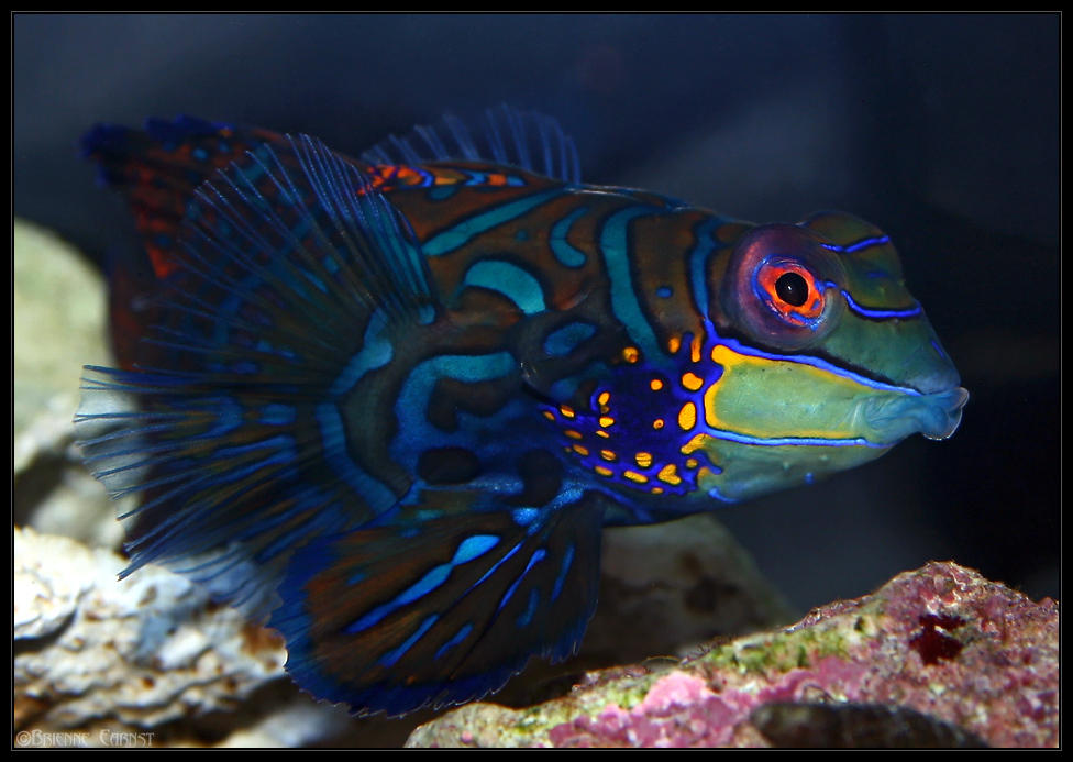 Male Green Mandarin Goby by oOBrieOo