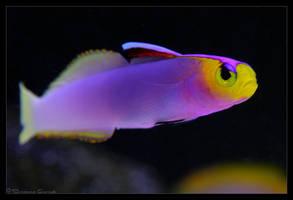 Helfrichi Firefish by oOBrieOo