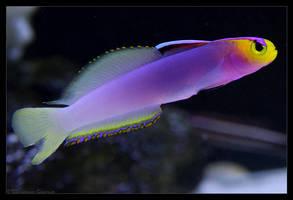 Helfrichi Firefish II by oOBrieOo