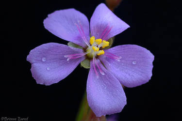 Drosera capensis 'Red' flower by oOBrieOo