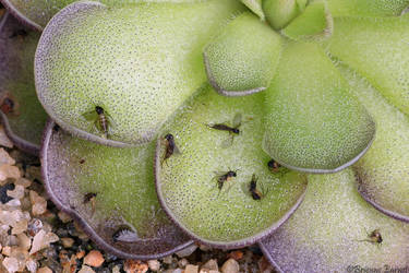 Fungus Gnats on P. cyclosecta by oOBrieOo