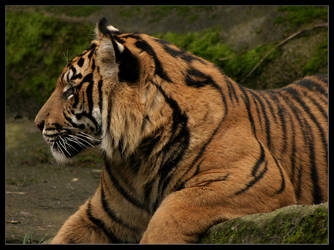 Bengal Tiger I by oOBrieOo