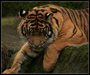 Bengal Tiger, again.. by oOBrieOo