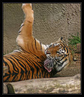 Bengal Tiger with an Itch by oOBrieOo
