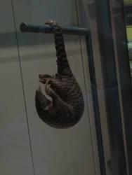 Smithsonian Museum: Mammal Hall: Pangolin by TuxedoToad